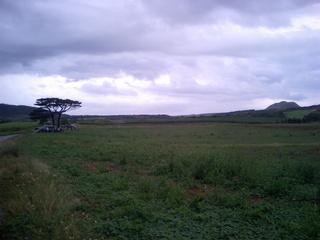 フクギ植樹