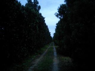 フクギの並木